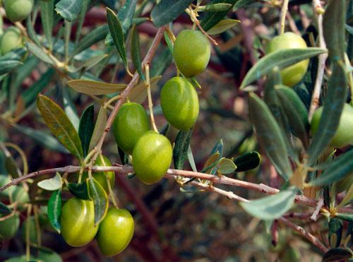 Olivas o aceitunas de la variedad picual