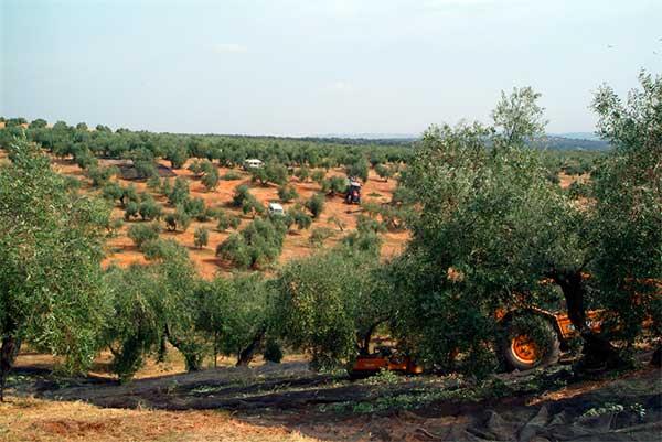 olivar tradicional finca Los Juncales