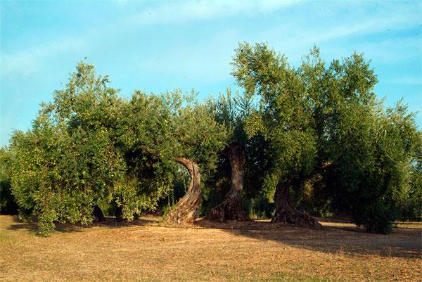 olivo centenario de Oro Bailen